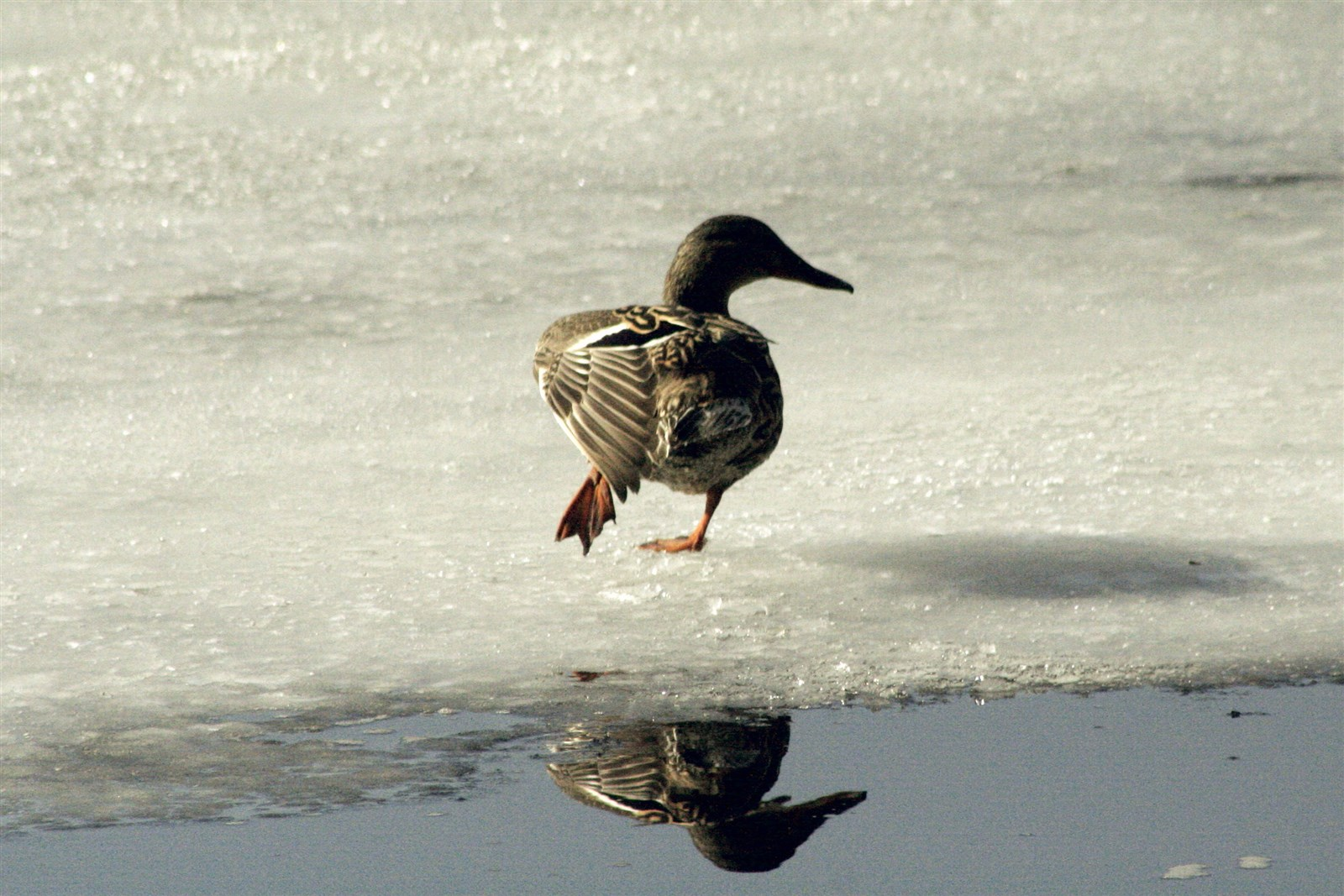 Duck on Ice (out) by Barbara Franklin