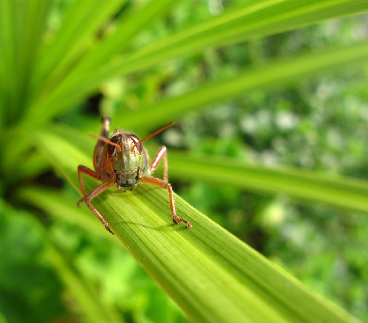 Grasshopper by Michelle Maggs