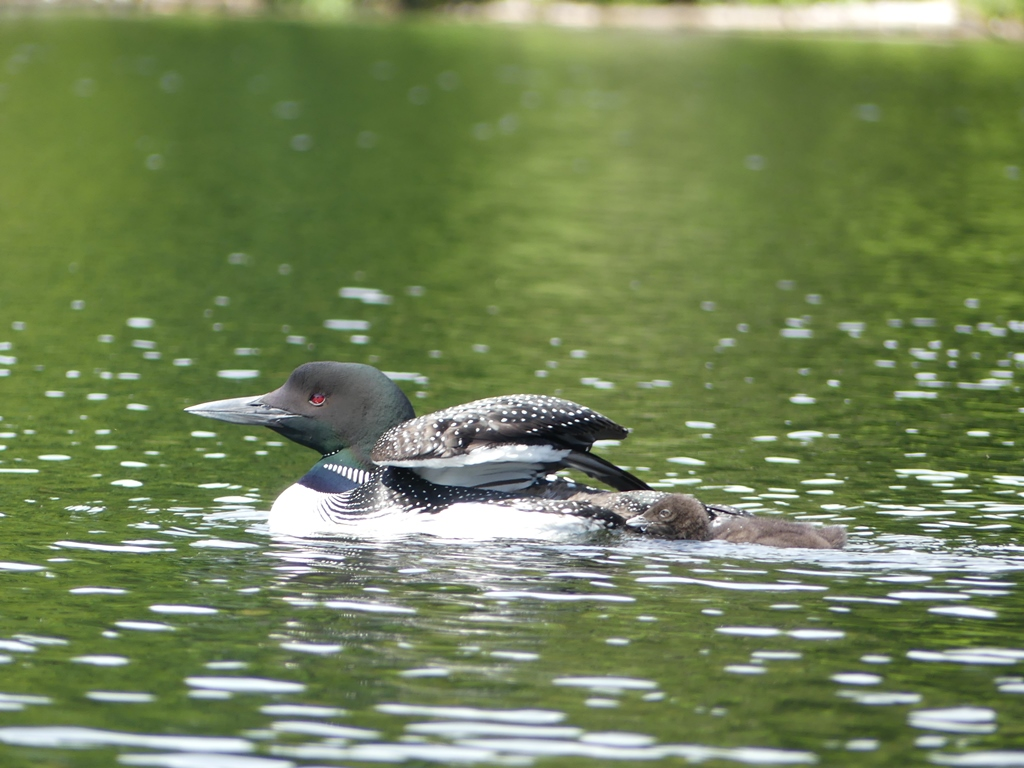 Loon and Chick July 2016 by SandyDay