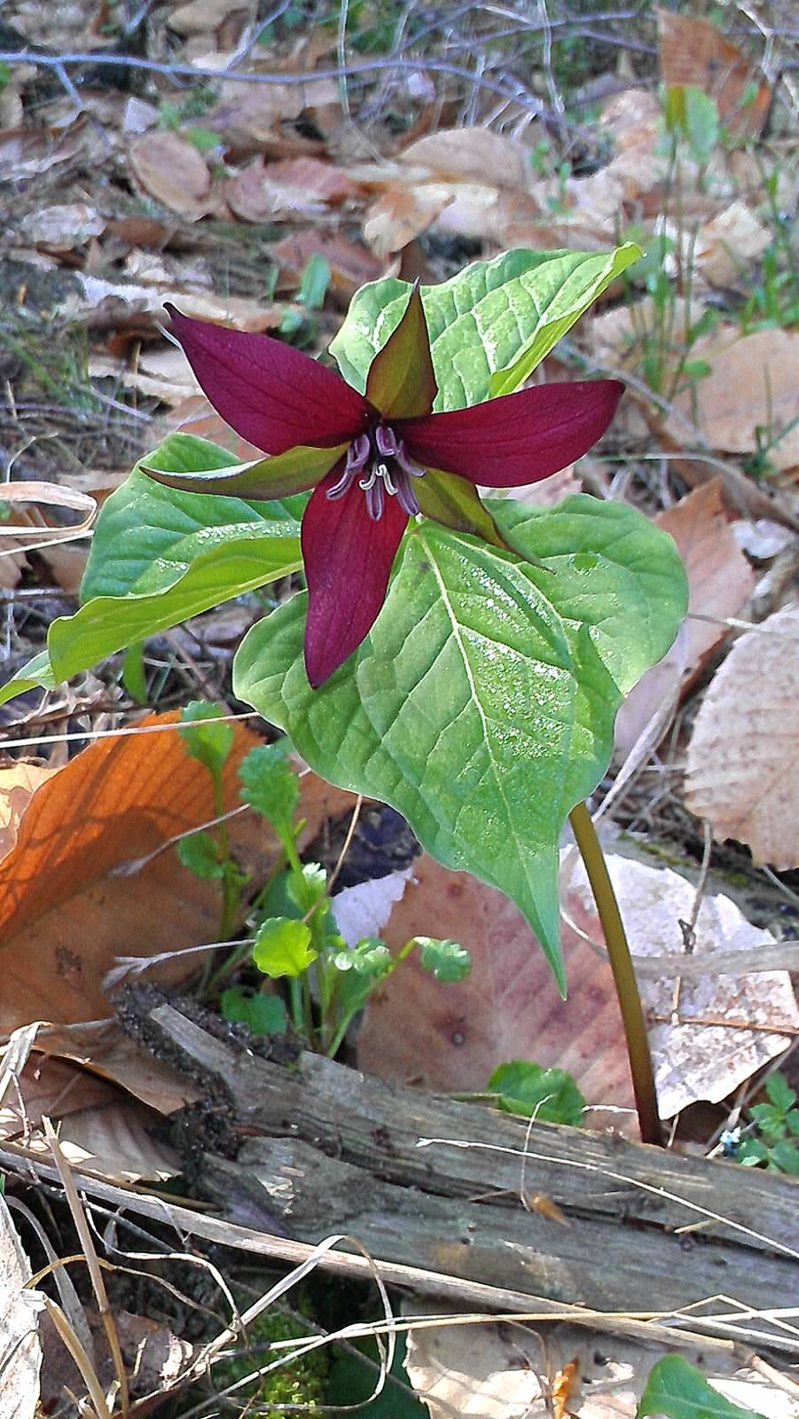 Trillium by Sandy Day